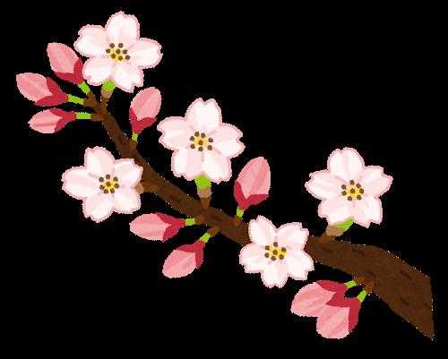 Sakura_kaika